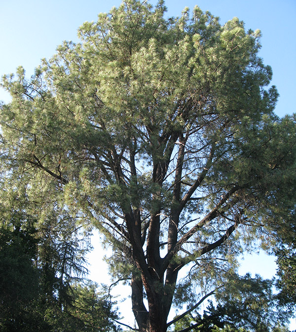 Altadena Heritage Plays Key Role in Preservation of Historic Torrey Pine?