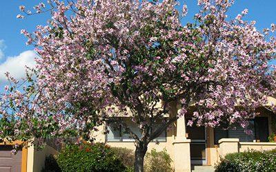 Altadena Tree Give Away