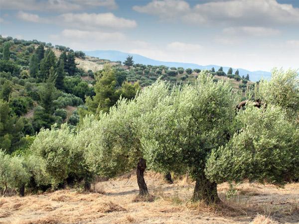 Olives Everywhere – AH Tree Committee